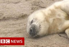 Spotting seals from the sky – BBC News